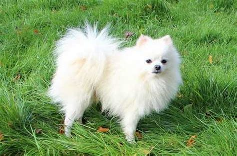 white pomeranian names top 10 cutest animals on earth cutest pets to own