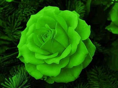 flower wallpaper green rose green rose flowers nature background wallpapers on