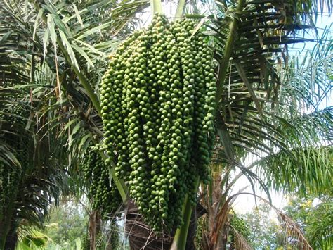 Jual Bibit Aren Pontianak bibit aren agro sejahtera