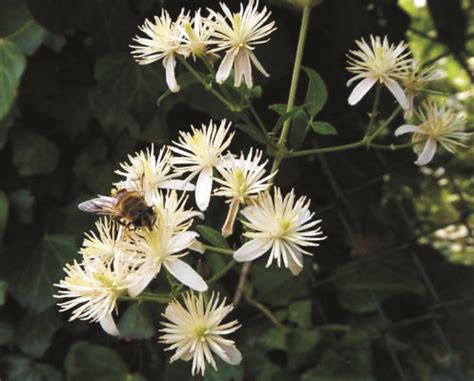 clematis fiore di bach i fiori di bach per chi non prova interesse per il
