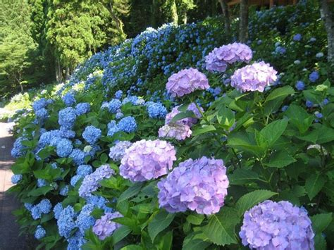 cespugli da giardino fioriti ortensia hidrangea piante da giardino ortensia