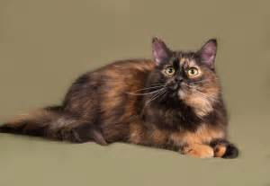 are all calico cats female cat curious