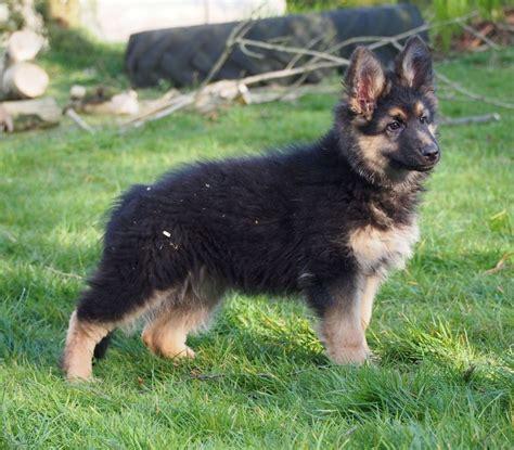 haired german shepherd puppies coat german shepherd puppies