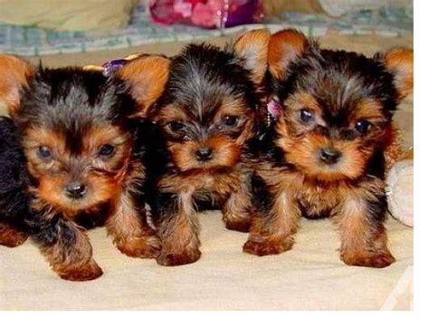 3 month yorkie adorable akc teacup yorkie and 3 months for sale in trumbull