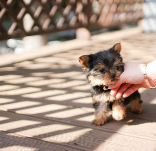 miniature yorkie for sale in ky terrier puppies for sale louisville ky 200299 petzlover