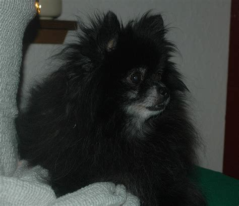 pomeranian enlarged kodi and 2011 flickr photo