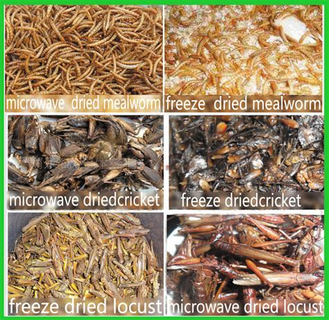 edible insect dried mealworm crickets grasshopper