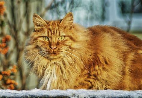 ab wann werden katzen rollig lebenserwartung einer hauskatze wie alt werden katzen