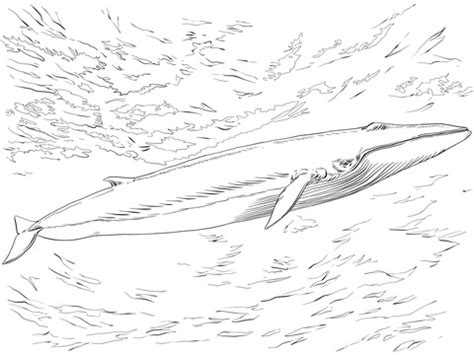 fin whale coloring page fin or finback whale coloring page supercoloring com