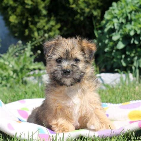 mix breed puppies for sale lhasa apso mix puppies for sale greenfield puppies