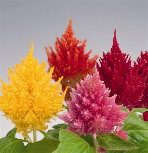 celosia plumosa glorious mix annual benary