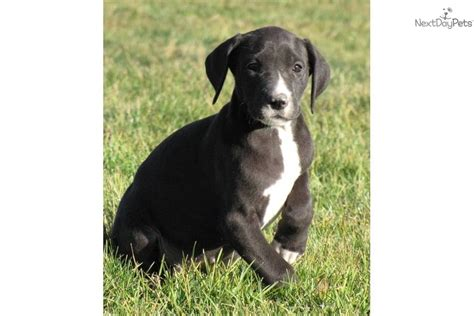 black great dane puppies black great dane puppy www imgkid the image kid has it