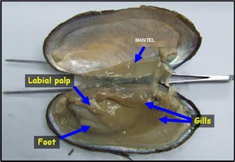 Mutiara Kerang Kima info budidaya ternak pelecypoda mollusca kerang