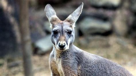 saves from kangaroo australian save kangaroo from eagle