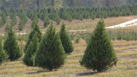 christmas tree farms chattanooga tree tree southeorgia farmsnorth farms southeasteorgetown ma farm