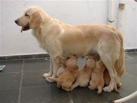 golden retriever filhote preço filhote de golden retriever pedigree cbkc classificados brasil