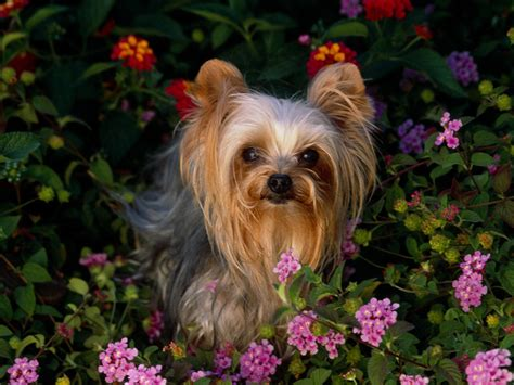 yorkie puppy breeders in mini terrier terrier