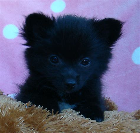 teacup pomeranian for sale perth wa for sale chihuahua x pomeranian tiny weeny larni sweet