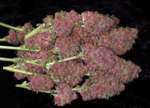 grow le le cannabis de couleur violette purple du