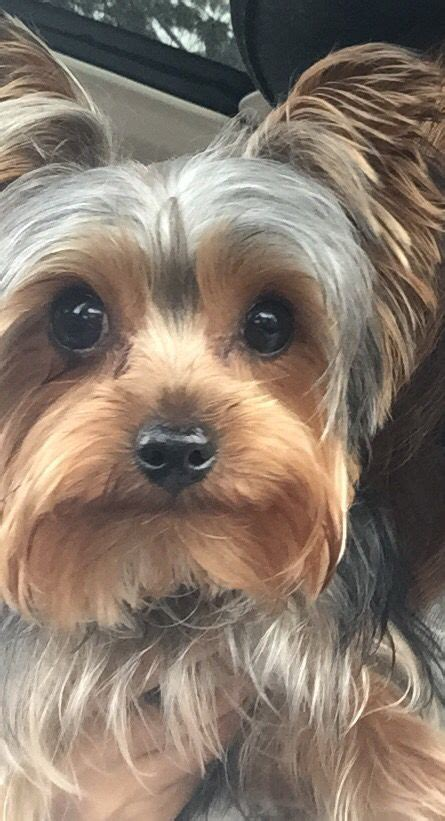 silkie terrier hair cuts 425 best images about yorkie love on pinterest
