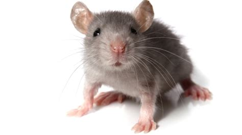 Of Mice and Meditation
