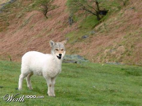 designcrowd wolf and the wolf the lamb will reside as one worth1000