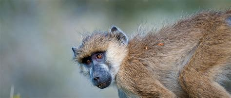 baboon african wildlife foundation