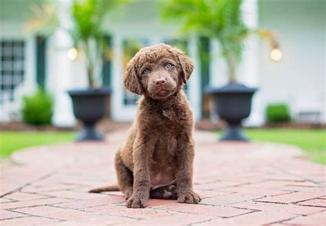 chesapeake bay retriever puppies for sale akc puppies for sale akc puppyfinder autos post