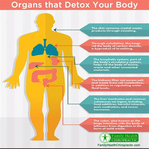 Human Detox System by Organs That Detox Your
