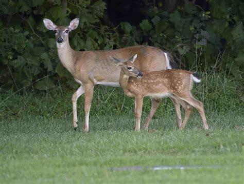 Du Deer Fit L les scientifiques pensent que quot la maladie du cerf quot pourrait se propager aux humains vonjour