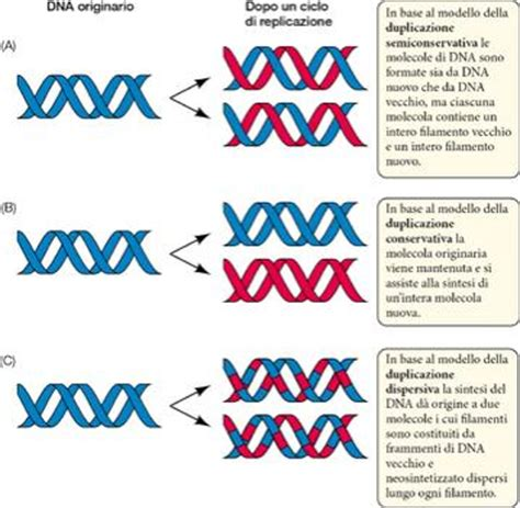 Bio Di Watson il modello di watson e crick suggeriva che la molecola di dna fosse in grado di duplicare s 233