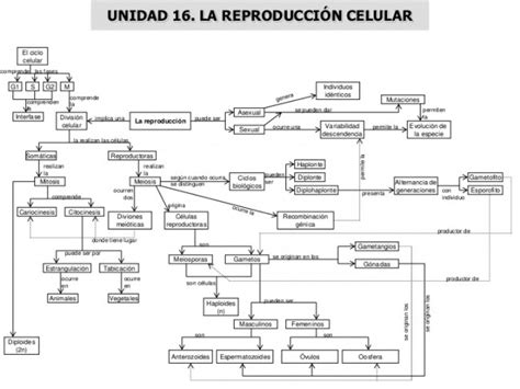 cuadro coseptual se celula cuadros sin 243 pticos sobre la reproducci 243 n celular cuadro
