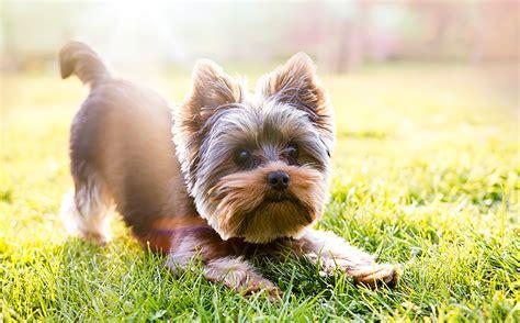 can you cut silky terrier hair short хаски или алабай какая ты собака по знаку зодиака