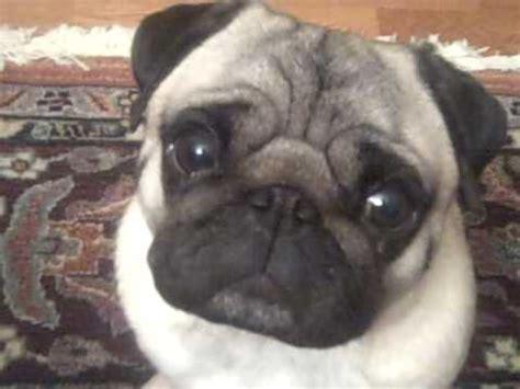 ugliest pug pugs are