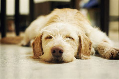 do dogs dreams do dogs psychology today