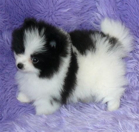 pomeranian puppies for adoption pin adopted pomeranian puppies puppy pictures on