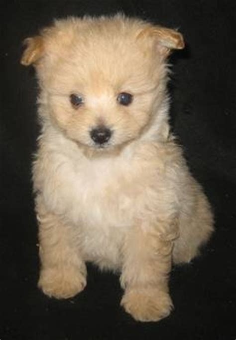 teacup poodle rescue indiana 17 images about puppies on potty