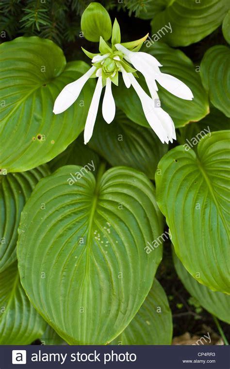 white flowers of fragrant hosta august lily hosta