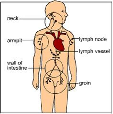 Detox Your Endocrine System by Your Lymphatic System Is Made Up Of Your Liver Skin