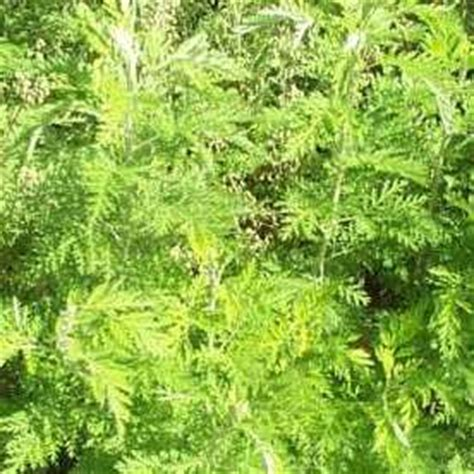 nigerian indigenous herbs seeds in south africa value forest