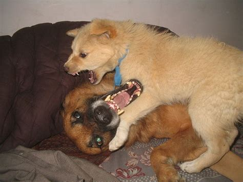 how to a to like other dogs file two dogs seems like fighting but are not jan 2008 in jalandhar punjab india
