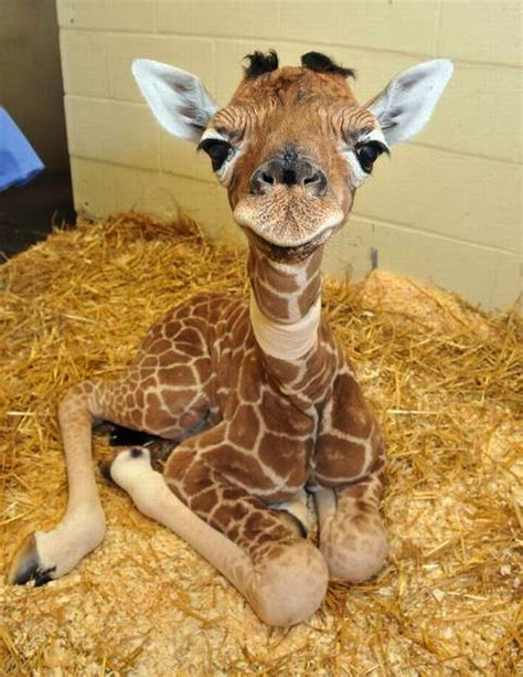google images baby cute baby giraffes google search cute animals