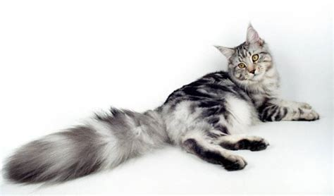 Cat Tembok Outdoor Mix One 15 maine coons that are wildlife insider