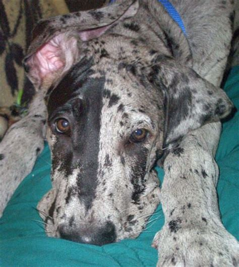 gran danes puppy 162 best great danes images on great danes big dogs and dogs