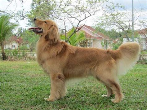 adoption golden retriever dogs for adoption golden retriever breeds picture