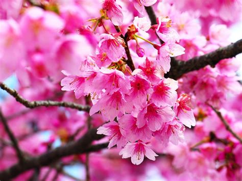 wallpaper bunga yg cantik gambar bunga sakura pink merah muda beautiful flower