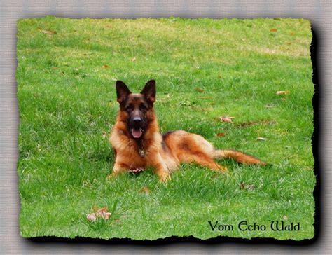 german shepherd puppies for sale in washington state vom echo wald kennel german shepherd breeder port angeles washington
