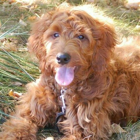 Setter Doodle Puppies   pin by janice sciscento on designer dogs i pinterest