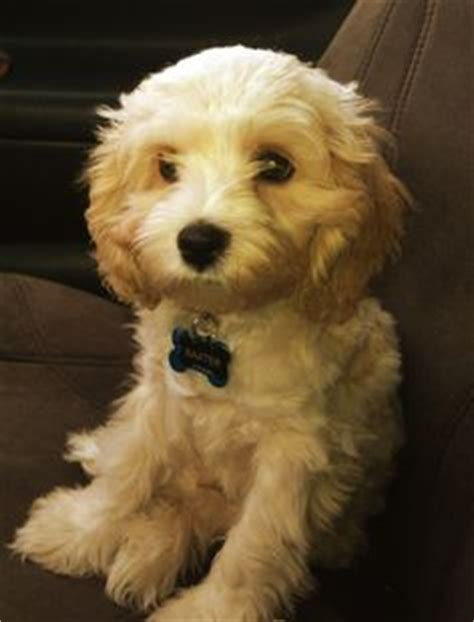 havanese puppies omaha a poos malte poos on