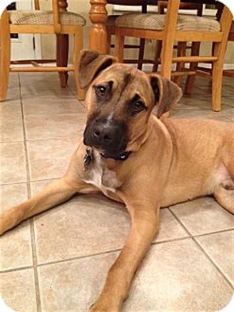 8 month puppy behavior bodhi 8 months adopted puppy marlton nj shepherd unknown type boxer mix